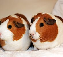 Gorgeous Girly Guinea Piggies! by VictoriaM