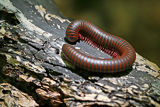 millipede on a tree by Manon Boily