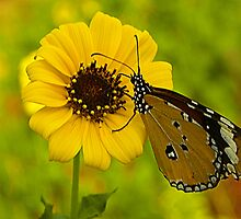 The Butterfly by prakhar