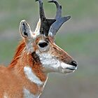 pronghorn buck by Rodney55