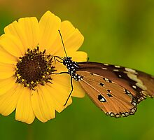 The Butterfly and Yellow Flower by Mukesh Srivastava