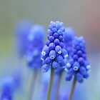 Grape Hyacinth by Marilyn O'Loughlin