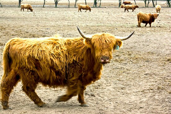 Highland Cattle #1 by Trevor Kersley