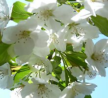 Apple Blossoms in NJ by Monica Engeler