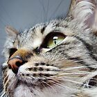 Merlin The Maine Coon by Ryan Conners