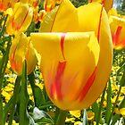 Hybrid tulip Yellow by joedog