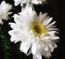 Gerbera Daisy 10 by Christopher Johnson