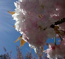 Sunlight Cherry Blossoms by Gillian Rogers