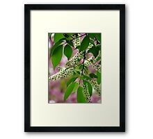 Wild Cherry Tree Blossoms Framed Print