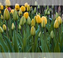 Yellow Tulips by Dania Reichmuth