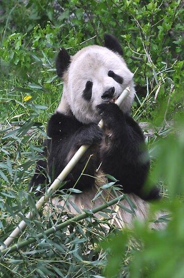 Giant Panda-Ailuropoda melanoleuca by Matsumoto