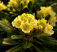 Rhododendrons by Sandy Keeton