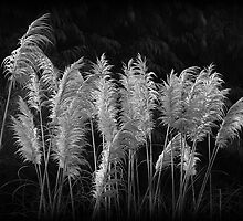 Pampas Grass by Robert Meyer