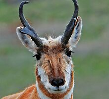 ANTELOPE BUCK  #039 by Rodney55