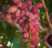 Fruit of the Vine.... Swan Valley, Western Australia by GaianImages