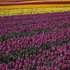 Tip-toe through the Tulips by Tamara Brandy