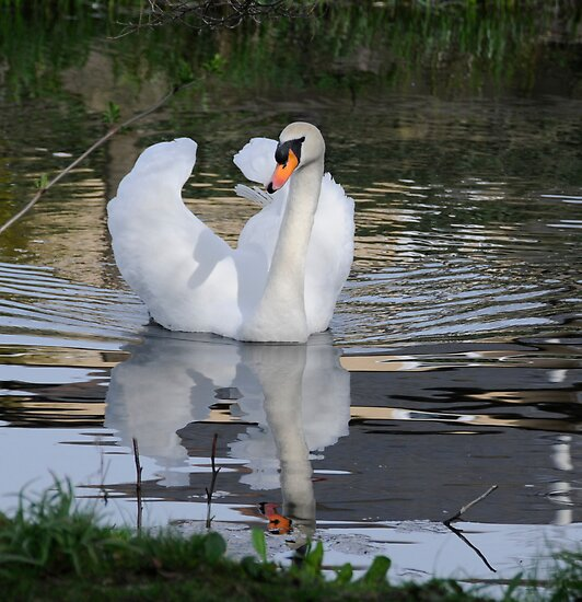 Glide a White Swan.. by Sheila Laurens