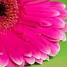 Gerbera by Julie McBrien