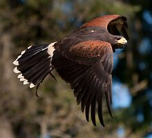 Red-tailed Hawk - full soar showing tail fan by Joy Leong-Danen