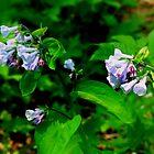 Mertensia (Virginia Cowslips)_Shenk's Ferry Wildflower Preserve by Hope Ledebur