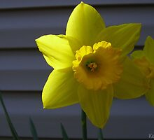 Shaded Yellow Daffodil by Tekeja Smith