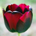 blood tulip by robyn poff