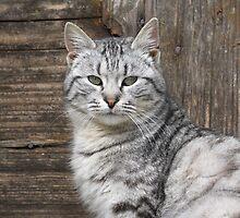 Tomcat by branko stanic