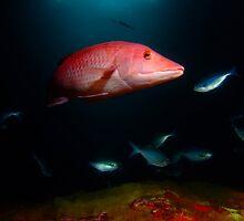 Pig Fish, Poor Knights, NZ by Sean Elliott