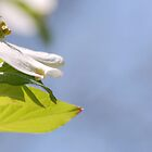 Dogwood Flower by ckroeger