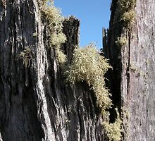 Lichen on a tree stump, Cradle Mountain, Tasmania, Australia. by kaysharp