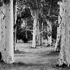 White Gums, Beechworth Golf Course by Fleur Stelling