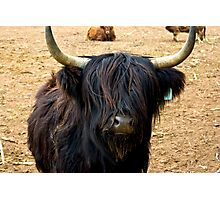Highland Cattle #2 Photographic Print