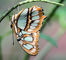 Blue and orange butterfly by rhallam