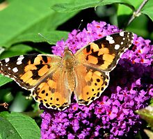 Painted lady butterfly 3 by rhallam