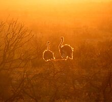 Backlit Ostriches by Robbie Labanowski