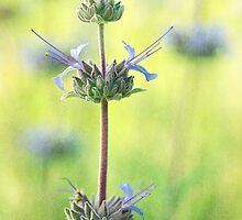 Spring Sage by Colleen Farrell