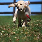 """Golden Retriever Puppy On The Run..."" by Laurie Minor"