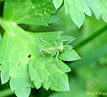 Grasshopper green on green leaf by pogomcl