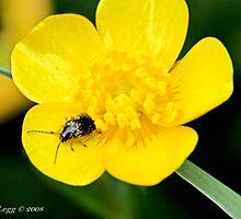Cryptocephalus bameuli, leaf beetle by pogomcl