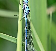 a newly emerged damselfly  hides from potential predators by pogomcl