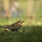 Song Thrush  by photoshotgun