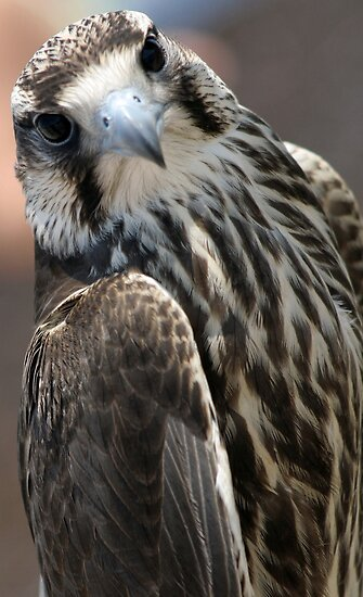 Closeup of the hawk by Wildcat123