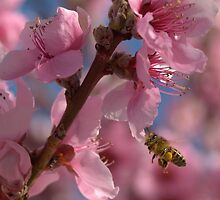 Peach Blossoms with a Honey Bee by Diana Graves Photography
