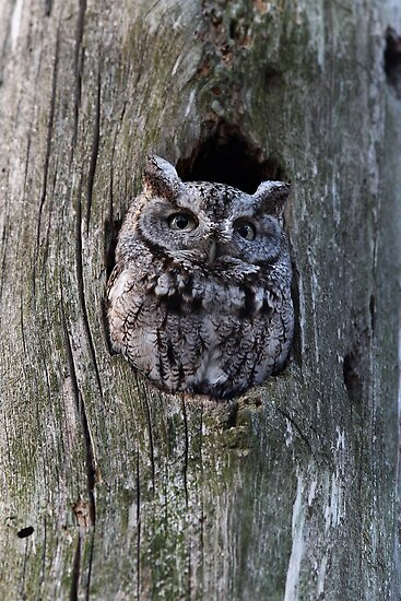 Eastern Screech-Owl by Jim Cumming