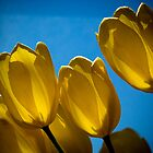 Yellow Tulips by Karem Nunez
