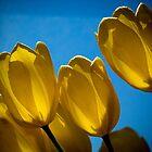 Yellow Tulips by Karem Nunez