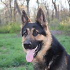 Jax - Male German Shepherd Dog by GSDman