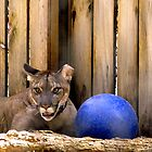 Panther With Blue Ball  by BCallahan
