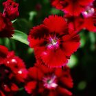 Red Delicious by littlebitimages