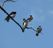 Four Little Tree Swallows by swaby